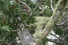 acacia-koa-epiphytic-infestation-by-lichens_40310297570_o