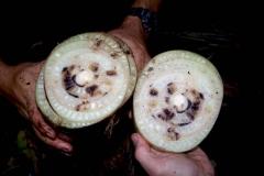 akk-8-005-5-mak-for-banana-sugar-cane-borer-1881-2_5671048070_o