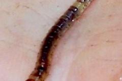 akk-mak-for-ban-moth-larva-187_5671048884_o
