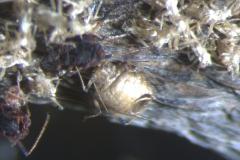 aphid-parasitoid-wasp-a-parasite-of-banana-aphid-pentalonia-nigronervosa_38101913175_o