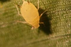 aphids-body-bearing-urediniospores-of-puccinia-polysora_37344118382_o