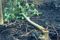 phytophthora-blight-of-papaya-caused-by-phytophthora-palmivora-basal-stem-rot-and-collapse_9786498201_o