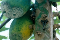 phytophthora-blight-of-papaya-caused-by-phytophthora-palmivora-fruit-blight_9786767013_o