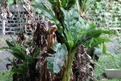 banana-bunchy-top_30165942888_o