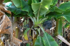 banana-bunchy-top_42839451145_o