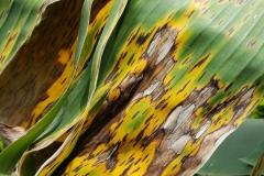 banana-musa-sp-black-leaf-streak-black-sigatoka_30082876328_o