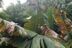 banana-musa-sp-black-leaf-streak-black-sigatoka_43074896235_o