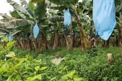 bananas-toppling-prevention_29009061437_o