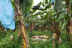 bananas-toppling-prevention_30078141628_o