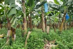 bananas-toppling-prevention_43041528355_o