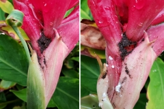 flowering-ginger-alpinia-purpurata-mealybugs-infesting-a-flower-while-tended-by-nesting-ants_43419771475_o