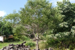 grafting-of-acacia-koa-scion_14112134611_o