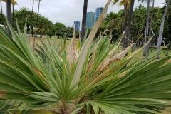 leaf-blight-of-fan-palm_42476233810_o