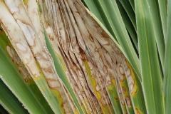 leaf-blight-of-fan-palm_43566853234_o