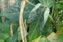 long-bean-powdery-mildew_29097071337_o