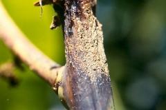 mango-stem-anthracnose_8291582415_o