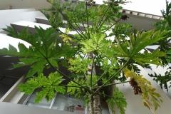 papaya-ringspot_29392429547_o