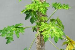 papaya-ringspot_29392430907_o