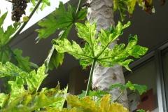 papaya-ringspot_43423035385_o