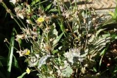 sow-thistle-sonchus-oleraceus-powdery-mildew_44027333752_o