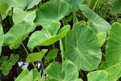 taro-colocasia-esculenta-dasheen-mosaic_44369198651_o
