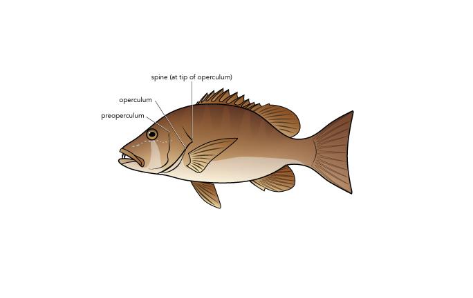 <p><strong>(B)</strong> A dog snapper (Neomaenis jocu) with preoperculum, operculum, and operculum spine labeled.</p>