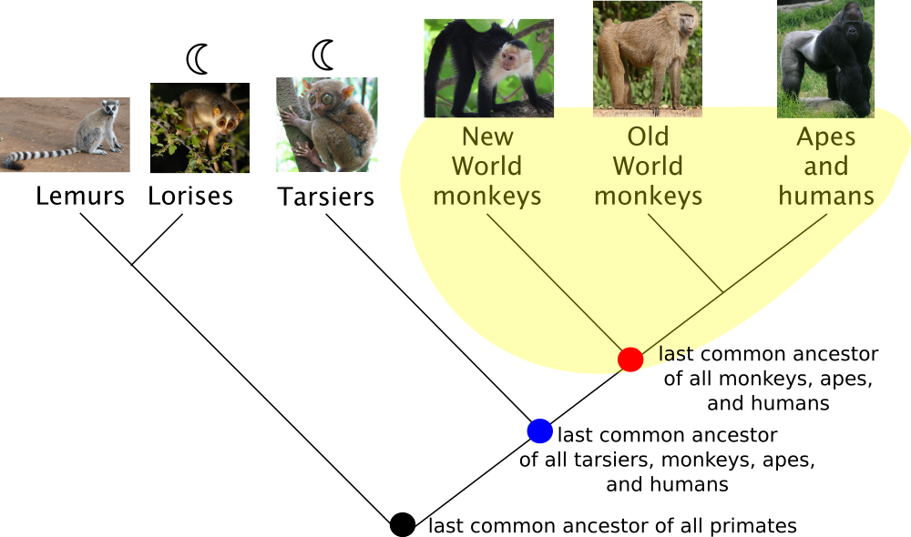 <p><strong>Fig. 1.17.</strong> Phylogenetic trees show evolutionary relationships between species or other groups of organisms. A sample monophyletic group of monkeys, apes, humans, and their last common ancestor (red dot) is highlighted in yellow. A second potential monophyletic group could include those in yellow as well as the tarsiers and the last common ancestor of this larger group (blue dot).</p>