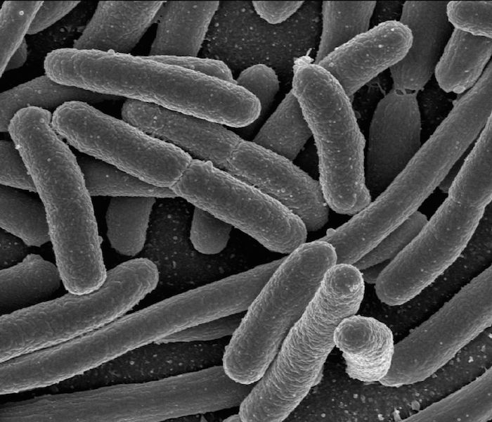 <p><strong>Fig. 1.5.</strong> (<strong>A</strong>) Scanning electron microscope image of a disease-causing bacteria, <em>Escherichia coli</em></p>
