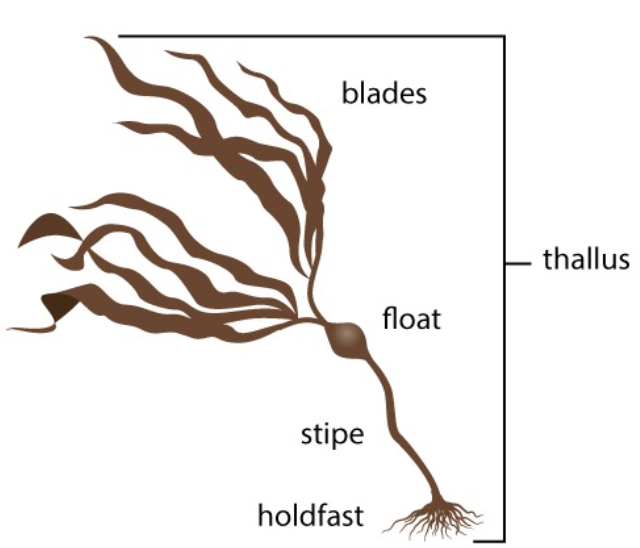 <p><strong>Fig. 2.20.</strong> (<strong>A</strong>) Diagram showing general alga morphology</p>