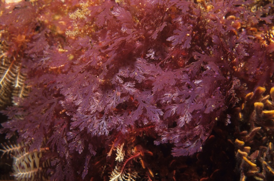 <p><strong>Fig. 2.31.</strong>&nbsp;(<strong>C</strong>) <em>Plocamium</em> sp., a red macroalgae</p>