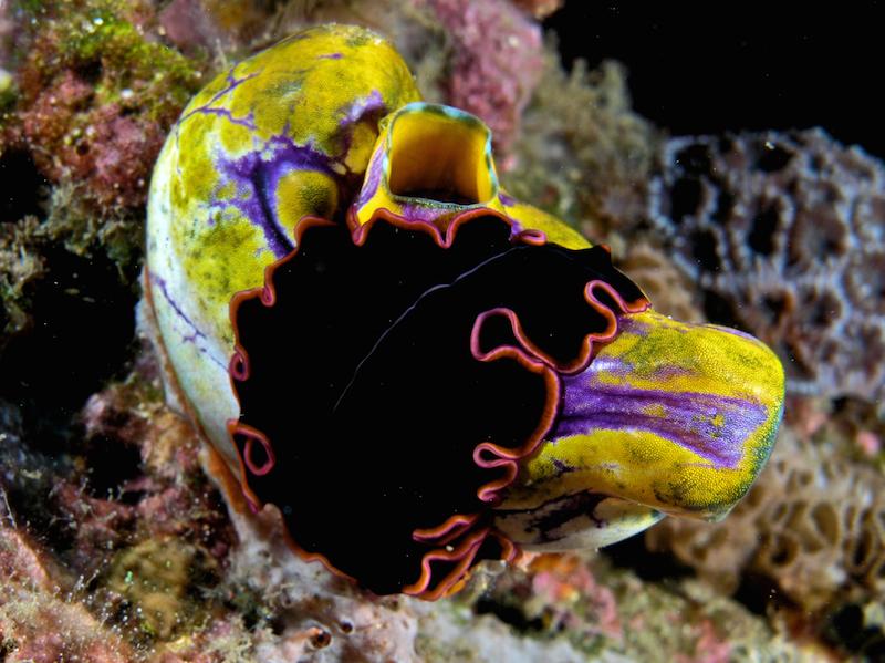 <p><strong>Fig. 3.1.</strong> A free-living marine flatworm (<em>Pseudobiceros</em> sp.) on a gold-mouth sea squirt (<em>Polycarpa aurata</em>), East Timor</p>