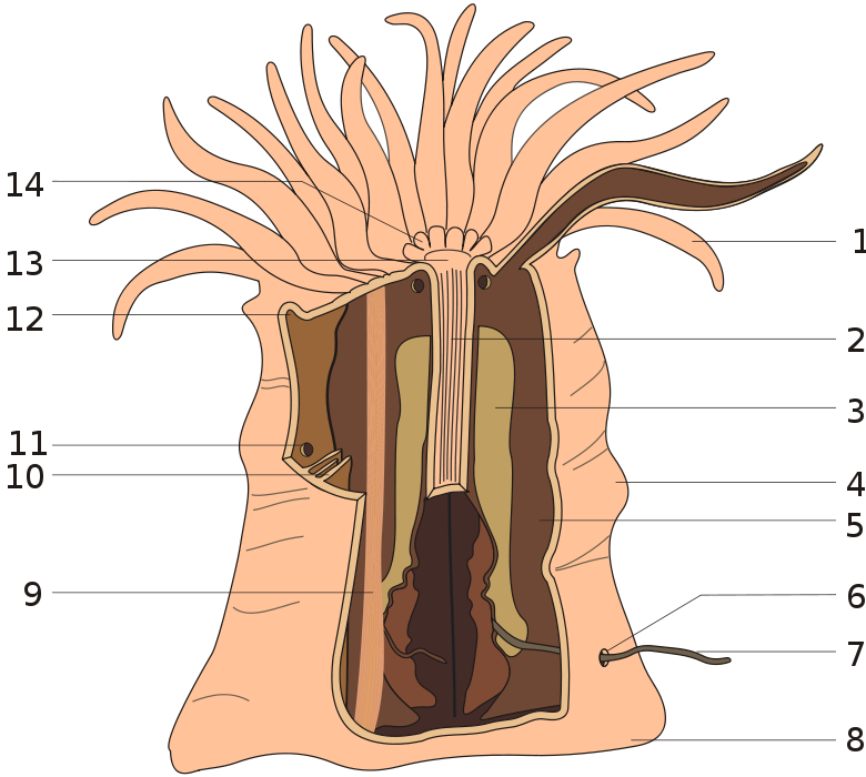 Fig 328 Anatomy Of A Sea Anemone Showing Some Internal