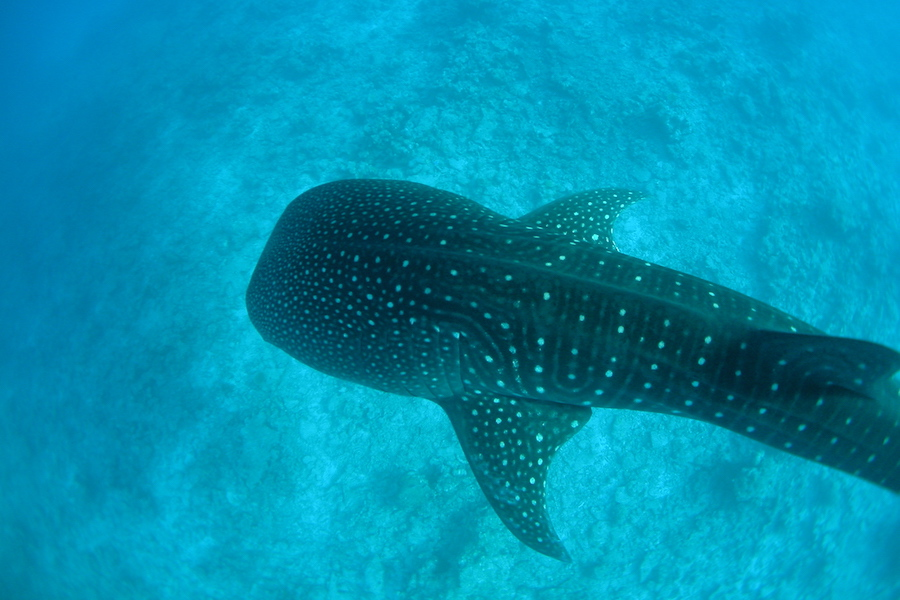 <p><strong>Fig. 3.35.</strong> (<strong>A</strong>) A whale shark (<em>Rhincodon typus</em>; a vertebrate animal)</p>