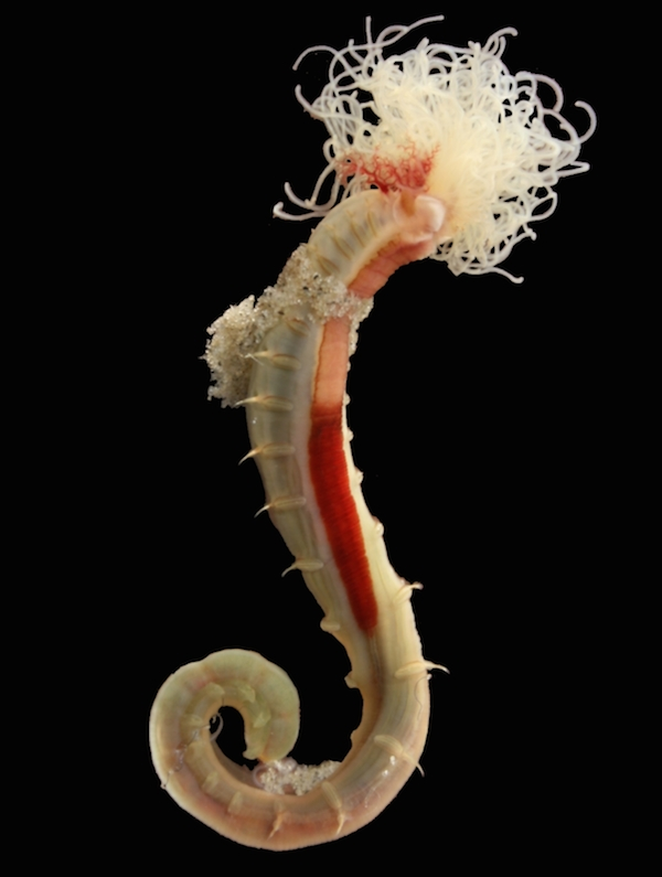 <p><strong>Fig. 3.45.</strong> (<strong>D</strong>) Sand mason worm (<em>Lanice conchilega</em>) without its tube</p>