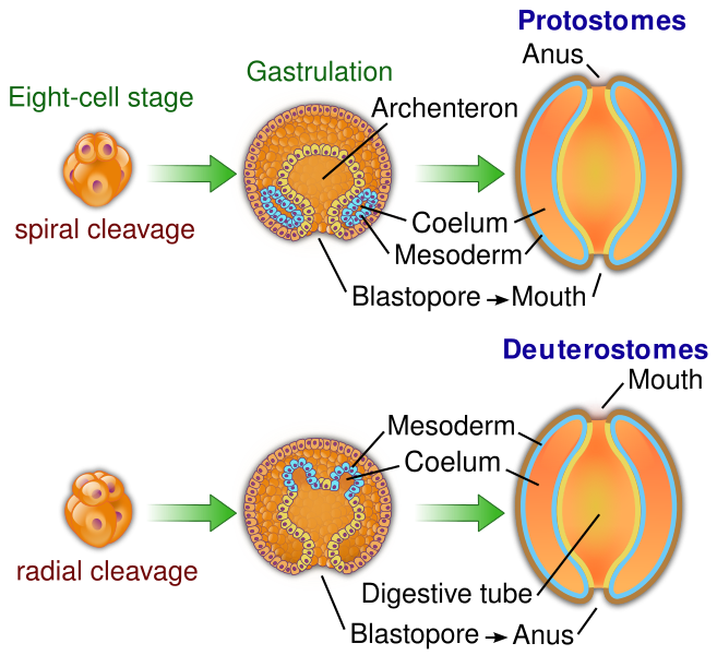 <p><strong>Fig. 3.6.</strong> Diagram comparing embryonic development in protosome and deuterostome animals</p>