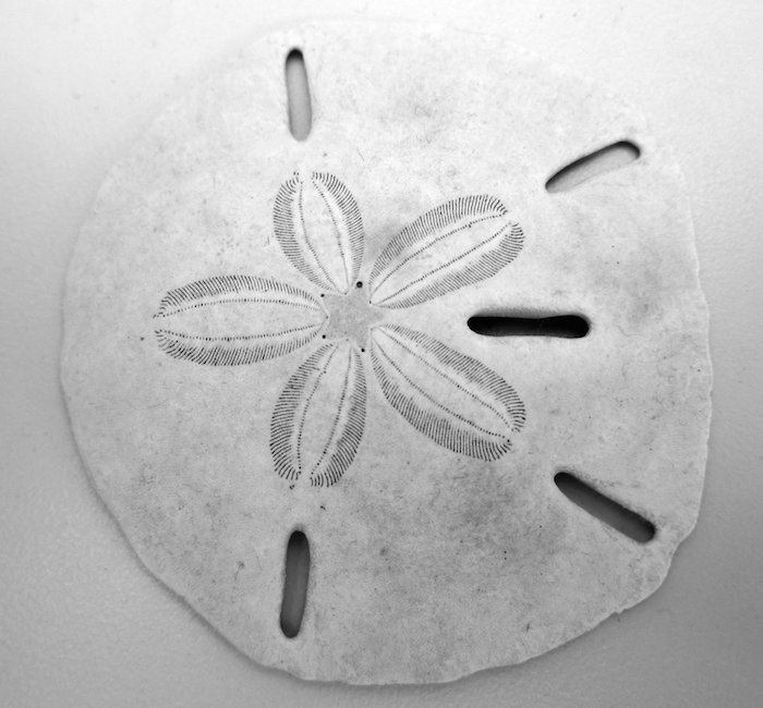 <p><strong>Fig. 3.86. </strong>(<strong>A</strong>) Sand dollar</p>