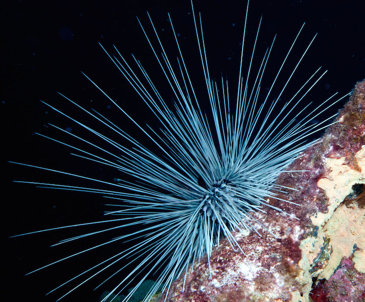 <p><strong>Fig. 3.87.</strong> (<strong>A</strong>) Long sharp spines on a long-spined sea urchin (<em>Diadema antillarum</em>)</p>