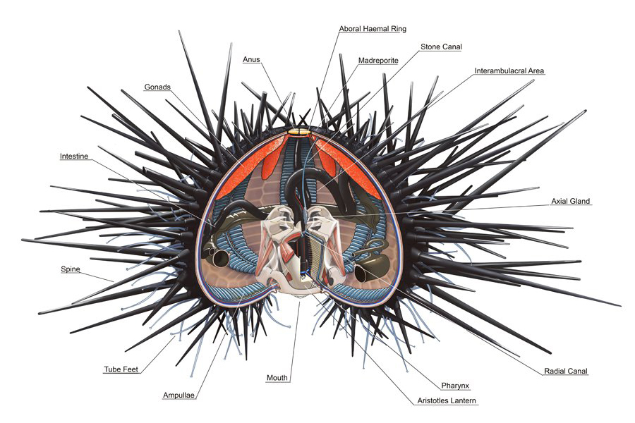 <p><strong>Fig. 3.89.</strong> (<strong>B</strong>) Cutaway diagram of sea urchin anatomy</p>