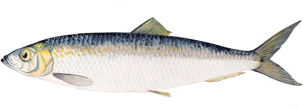 <p><strong>Fig. 4.16.</strong> (<strong>A.3</strong>) A herring</p>
