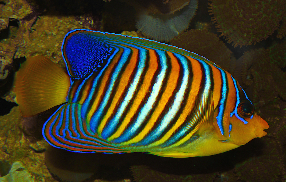 <p><strong>Fig. 4.16.</strong> (<strong>B.1</strong>) An angelfish</p>