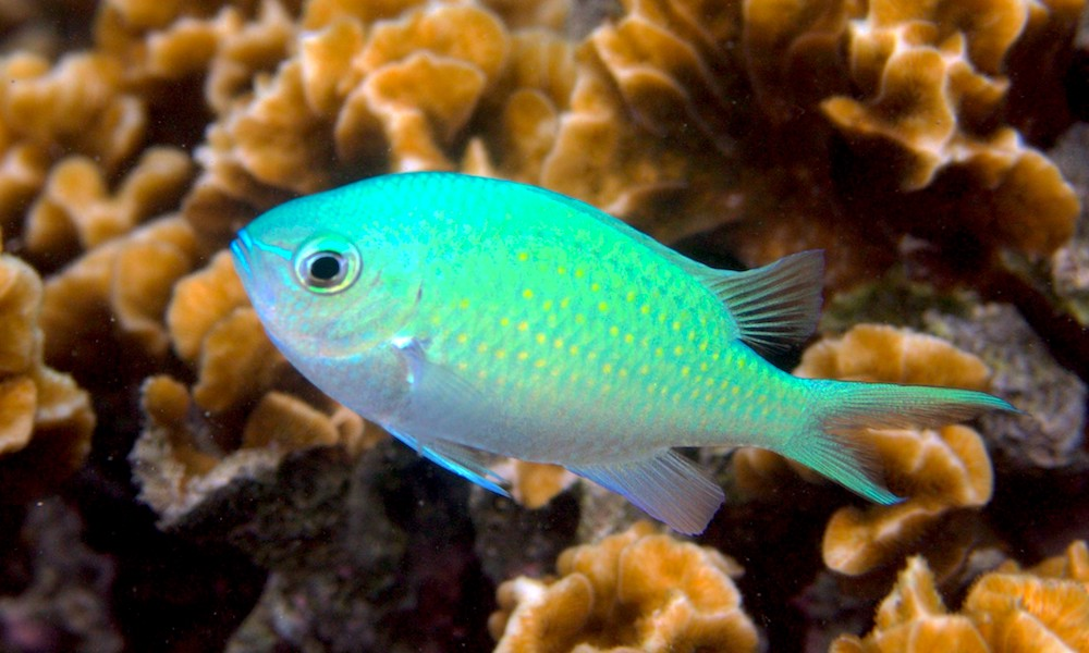 <p><strong>Fig. 4.17.</strong> (<strong>A</strong>) A blue chromis with its mouth closed</p>