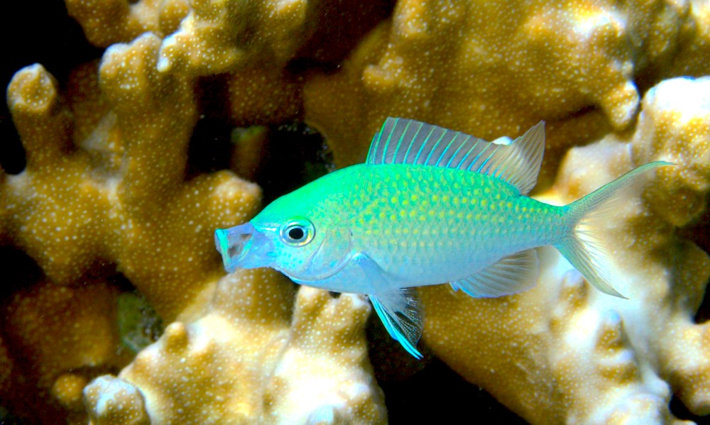 <p><strong>Fig. 4.17.</strong>&nbsp;(<strong>B</strong>) A blue chromis with its mouth open to suck in plankton prey</p>