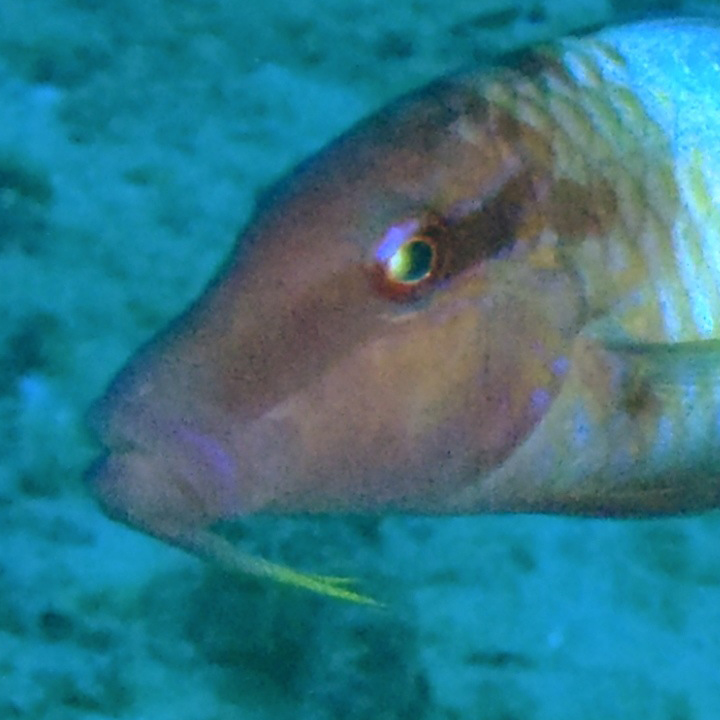 <p><strong>Fig. 4.30. (A)&nbsp;</strong>Goatfish with chemosensory barbels that can taste and smell</p>
