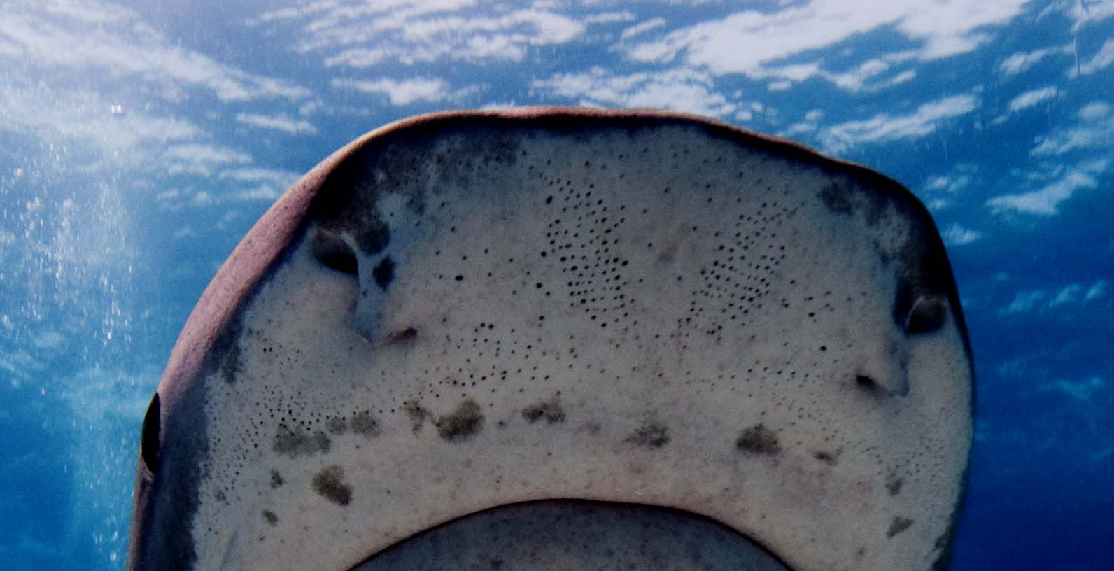 <p><strong>(B)</strong> Ampullae of Lorenzini pores on the snout of a tiger shark</p>