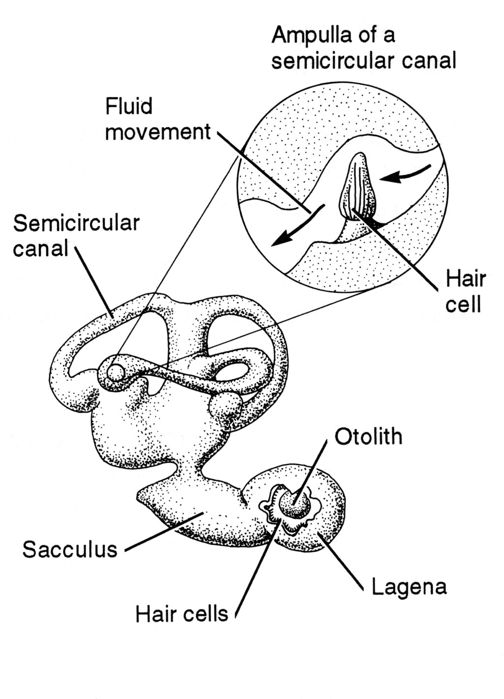 <p><strong>Fig 4.35.</strong> Inner ear of a fish</p>