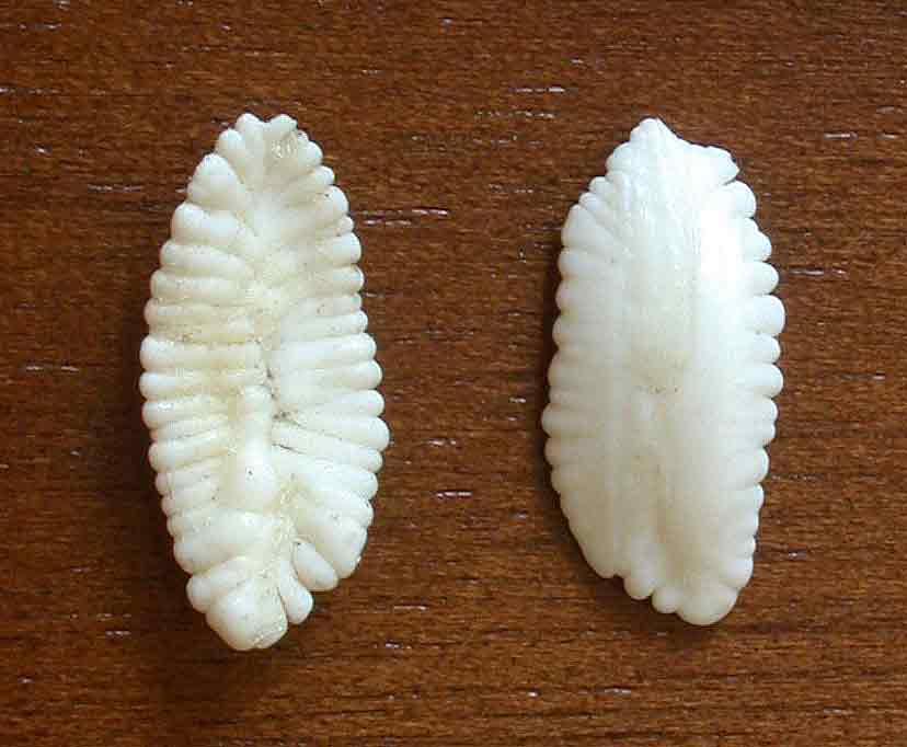 <p><strong>Fig. 4.36. (B)</strong> A pair of otoliths from a 160lb eight-banded grouper</p>