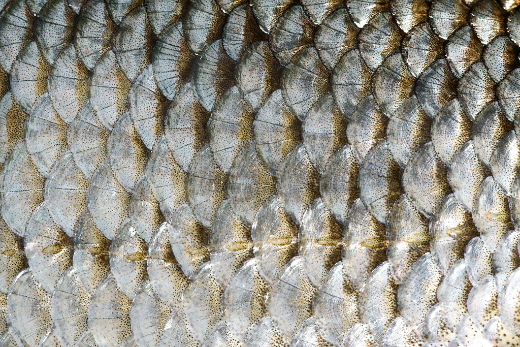 <p><strong>Fig. 4.41.</strong> The overlapping scales of a roach fish (Rutilus rutilus)</p>