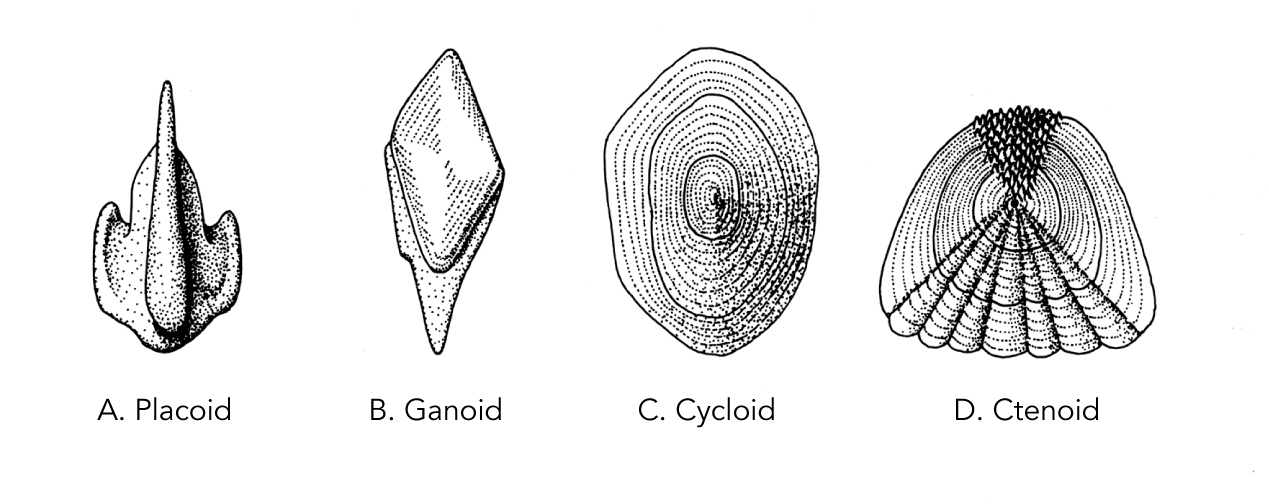 <p><strong>Fig. 4.42.</strong> Four types of fish scales A) Placoid, B) Ganoid, C) Cycloid, and D) Ctenoid</p>