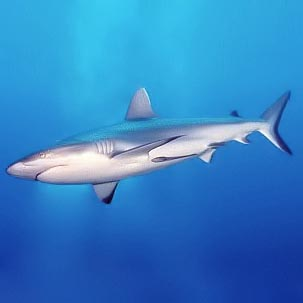 <p><strong>(B) </strong>Countershading in a grey reef shark</p>