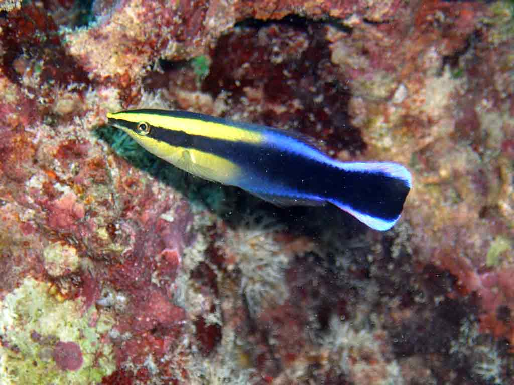 <p><strong>(B)</strong> blue and yellow Hawaiian cleaner wrasse</p>